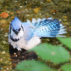 blue_jay_bathing