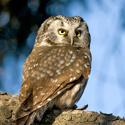 boreal_owl