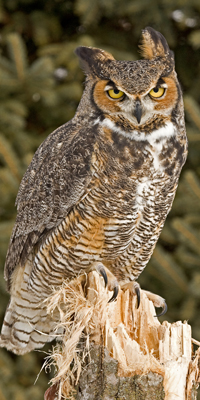 great_horned_owl