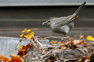 catbird_eating_berry