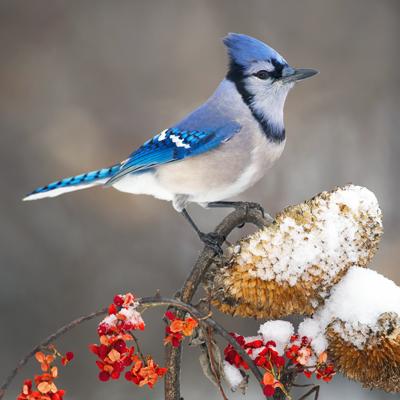 blue_jay