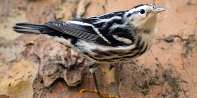 black_and_white_fall_warbler