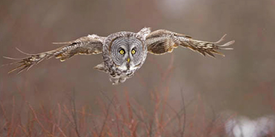 great_gray_owl