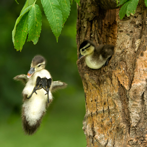 wood_duck_ducklings_fledging