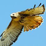 red_tailed_hawk_in_flight