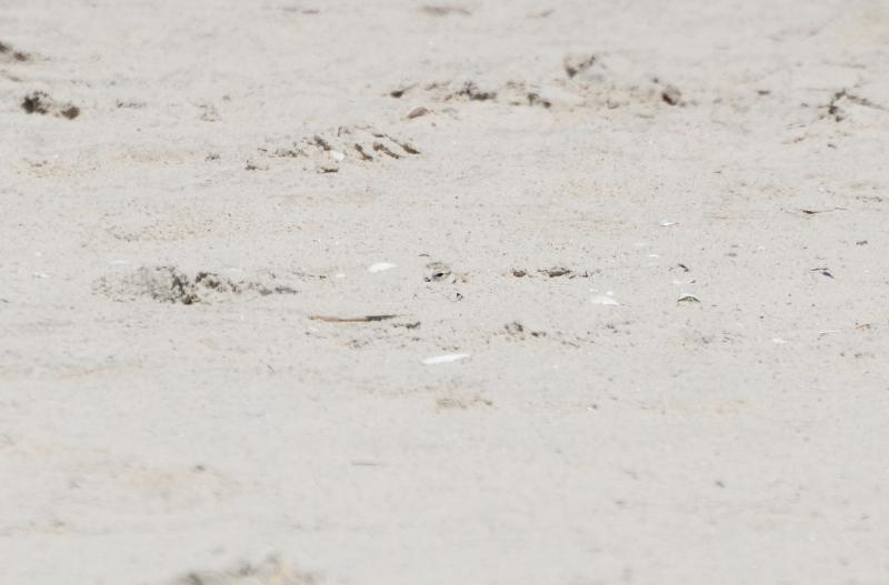 piping_plover_chick_hiding