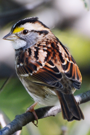 white_throated_sparrow