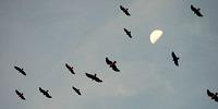 hawks_kettling