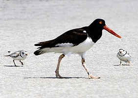 piping_plover_oystercatcher