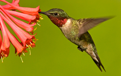 ruby_throated_hummingbird
