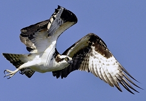 osprey_flying