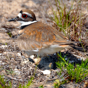 killdeer_nesting