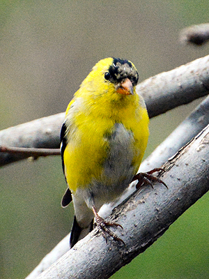 goldfinch_molting