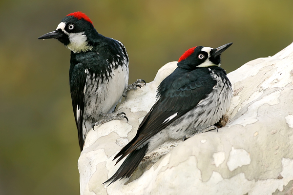acorn_woodpecker