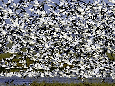 snow_geese_central_valley_ca_gary_zahm_usfws