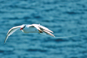 red_billed_tropicbird
