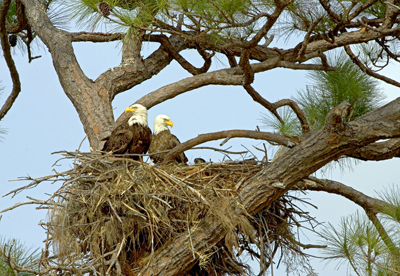 bald_eagles_nest