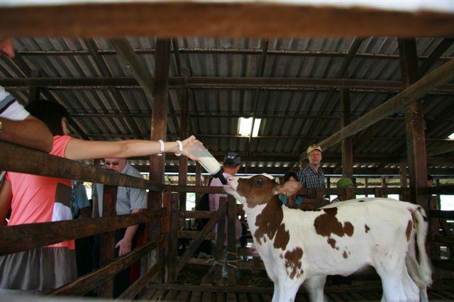 Bottle Feeding the Calves