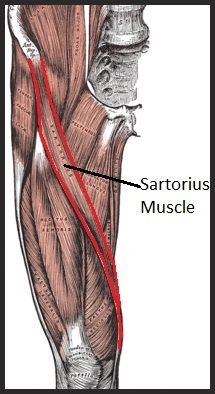 exercise to focus on your sartorius muscle and alleviate pain, Human Body