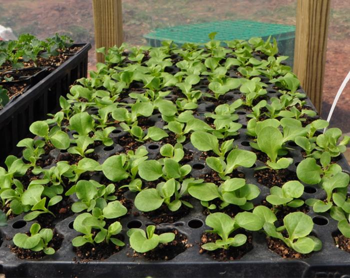 sprouts from rocklands