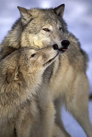 wolves nuzzling