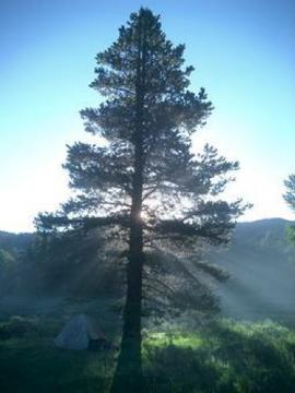 pine, maritime