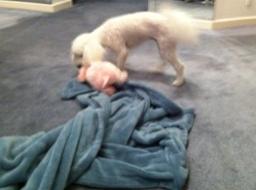 Austen pig